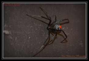 Red Back Spider by Purple-Dragonfly-Art