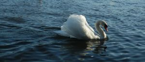 The Swan Song IV by Eirian-stock