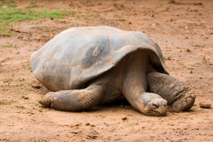 Sleepy Tortoise by crumpstock