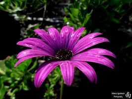 African Daisy by melsofmaui