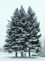 snowy trees   *___* by LiCiK-A