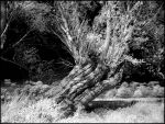 Old Willow Tree II infrared... by MichiLauke