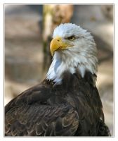 Regal Eagle by Justaminute