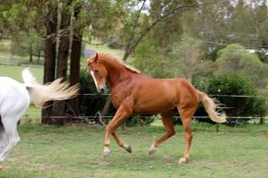 powerful canter lunge TB by Chunga-Stock