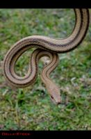 Yellow Rat Snake.3 by Della-Stock