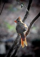 Female Cardinal 8-9-11 by Tailgun2009