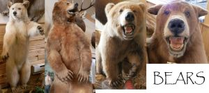 Taxidermy Bear Stock by galianogangster