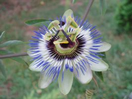 Passiflora by kate44