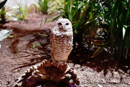 Little Hooter by AO-Photography