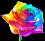 RAINBOWedROSES in HD = PERFECTION by RAINBOWedROSES