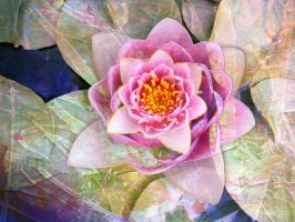 Waterlily in Pink by Tackon