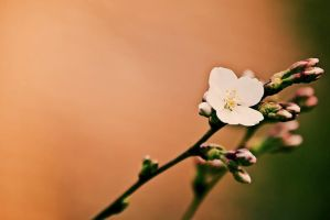 Single Blossom by rclee21