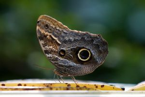 Owl Butterfly by secondclaw
