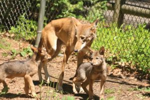 Red Wolf Stock 70: Mother and Pups by HOTNStock