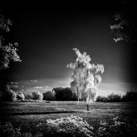 Birch Tree - infrared by MichiLauke