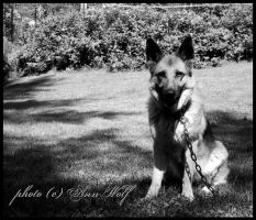 German shepherd by Kuutulensudet