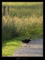 Pukeko by Crooty