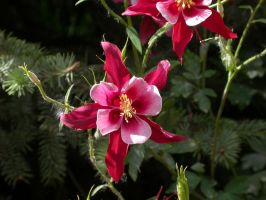 Red Columbine by bladesfire