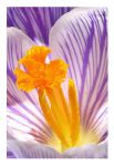 Here's To You, Crocus by Marita-Covarrubias