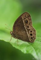 Long Brand Bush Brown Butterfly by AlHabshi