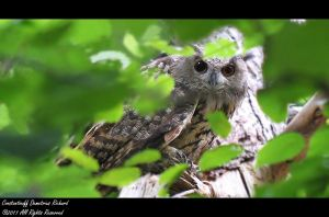 Eurasian Eagle - owl by RichardConstantinoff