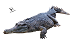 Cut-out stock PNG 92 - crocodile by Momotte2stocks