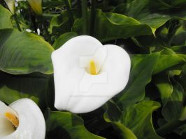 Arum Lily by floramelitensis