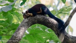 Indian Giant squirrel by DebasishPhotos