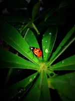 ladybug on Lupinus by BlackEyesSnowAngel