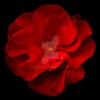 Red Rose on Black by watsup223