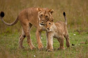 African Lion 101 by catman-suha