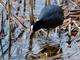 Coot - 1 by jsmith-jc1