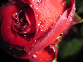 Raindrops on Roses III by spockmou