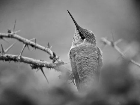 BW Anna's Hummingbird by copperarabian