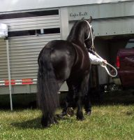 Fresian horse stock by shi-stock