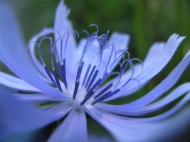 Blue Flower by manandjstocks