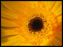 Yellow flower by daphotos