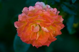 Rose IX by Sundseth