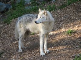 Wolf pic 3 by ChasingDreams4