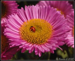 Coccinellidae 1 by Balto-Wolf