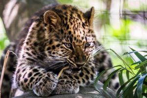 Leopard Cub by 904PhotoPhactory