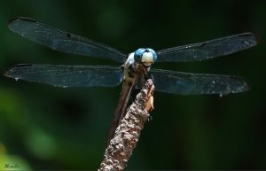 Blue Dasher Dragonfly by FallOut99