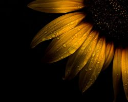 Backyard Flowers 28 Sunflower by thelearningcurve-da