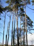 Tall Pines on Woodbury Common by 3D-Studio-Mike