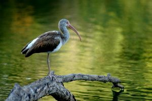 Brown And White Ibis by JonShotFirst