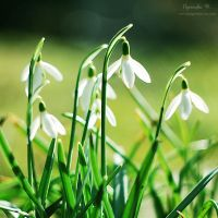 snowdrops. by magnesina