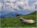 Cows on Monte Baldo III by carolinbie