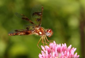 Amberwing on Pink by natureguy