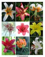 My Garden Lilies by theresahelmer