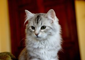 Siberian Kitten, Sasha no. 7 by Mischi3vo
